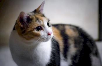 Kucing I: Bidu